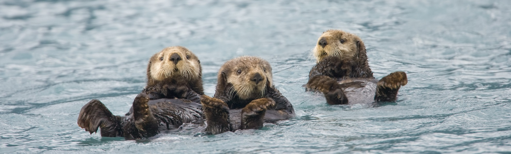 Three sea otters floating in the ocean