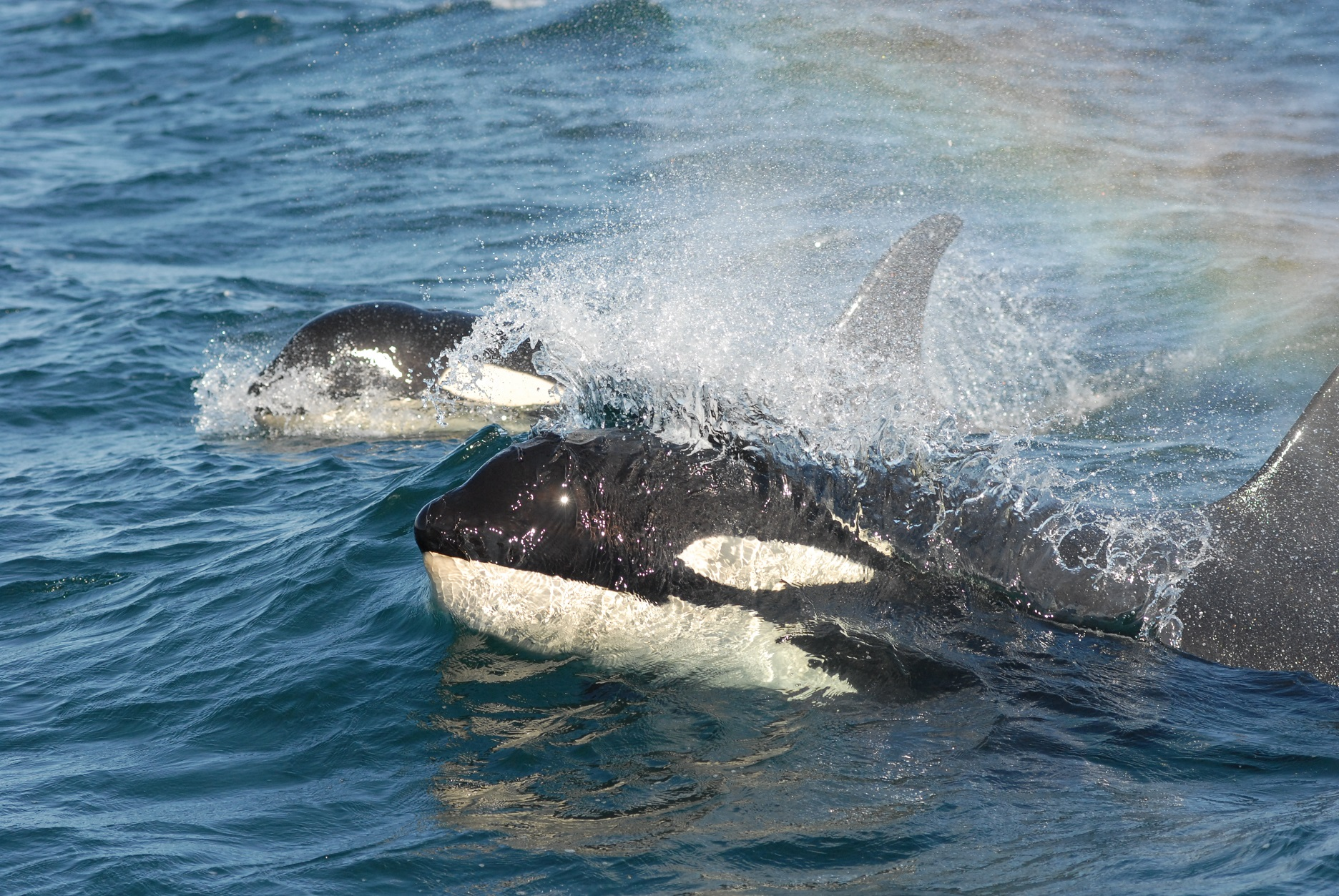 Orcas swimming with rainbow in water mist
