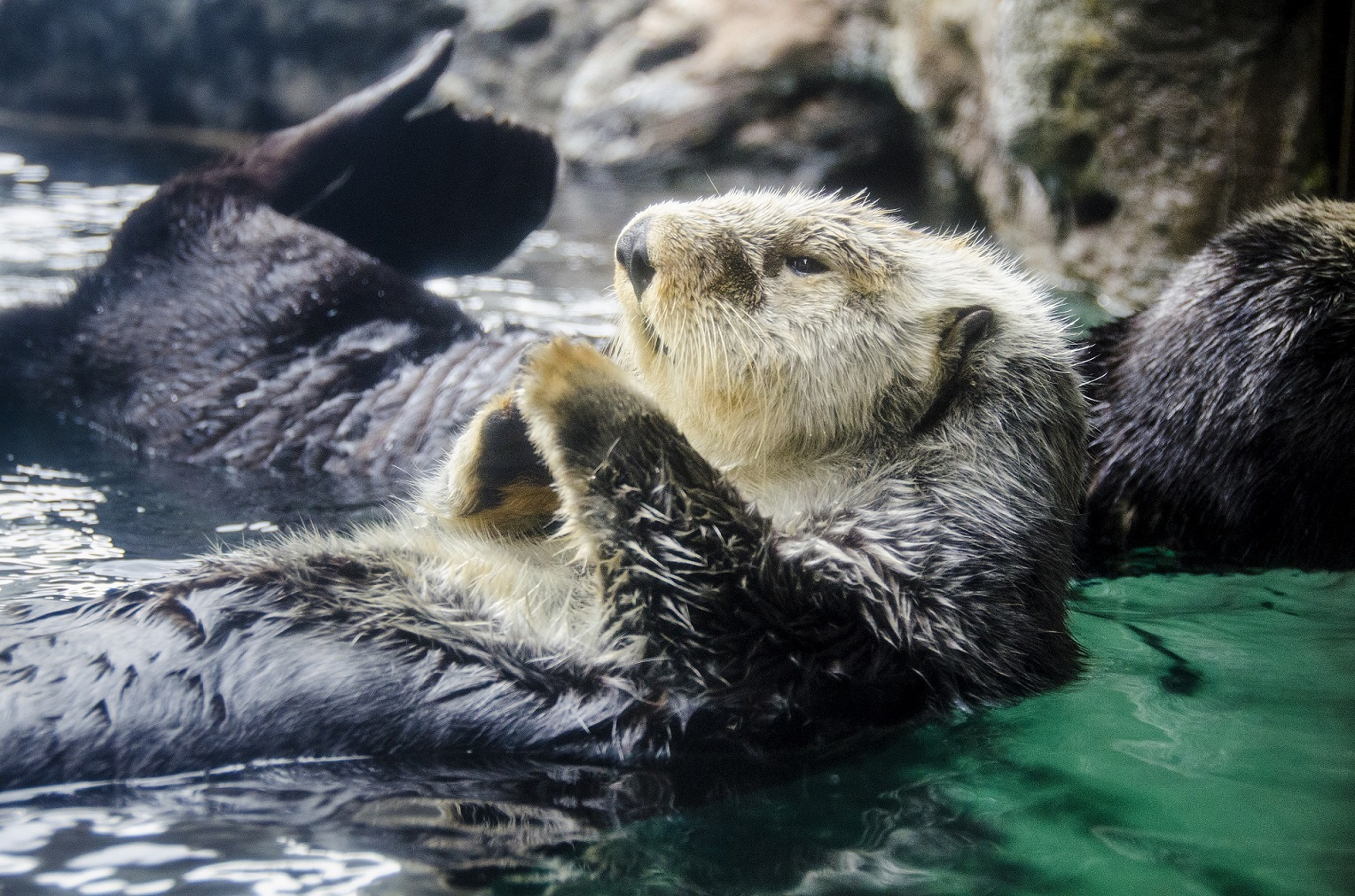 Sea otter floating in exhibit