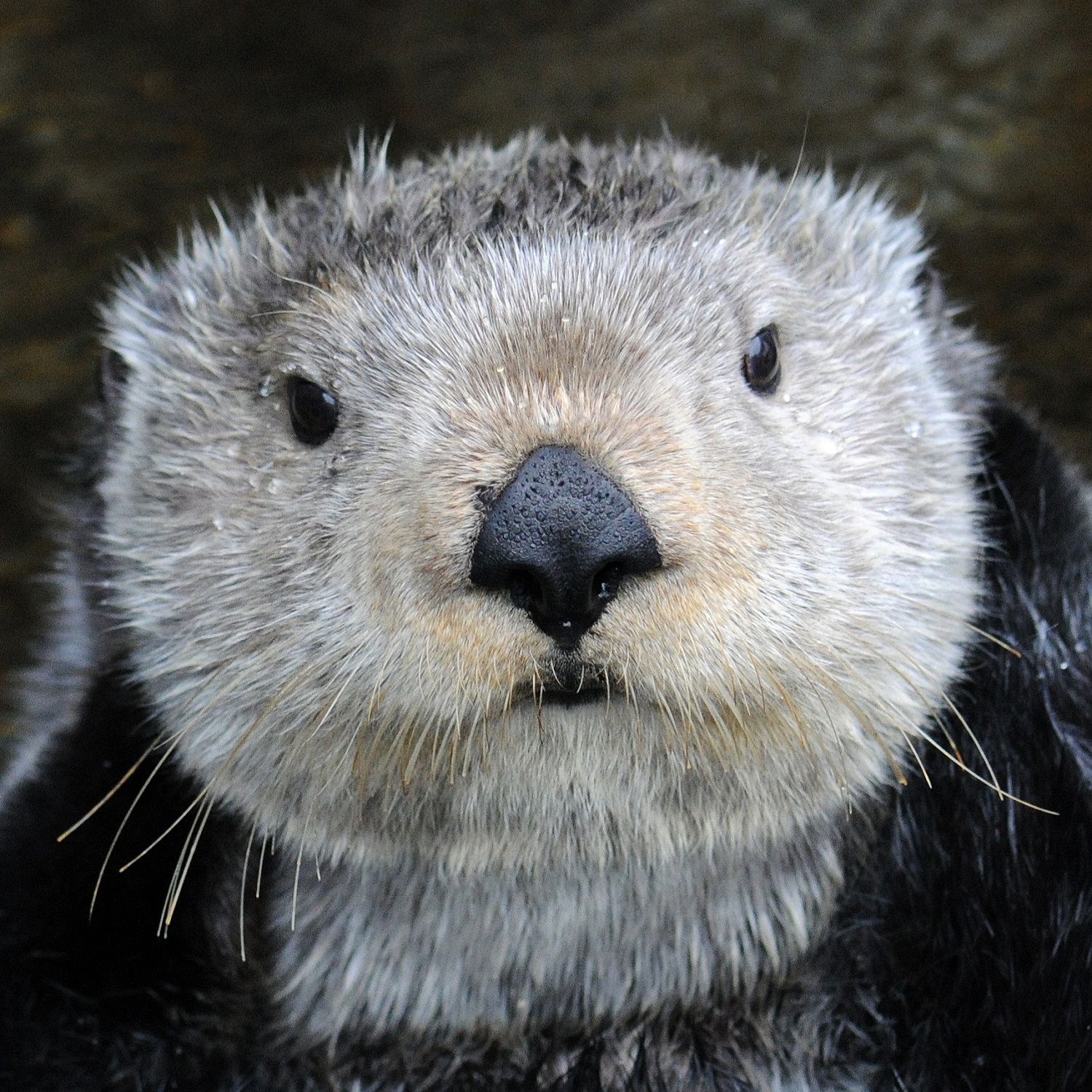 Adaa the sea otter