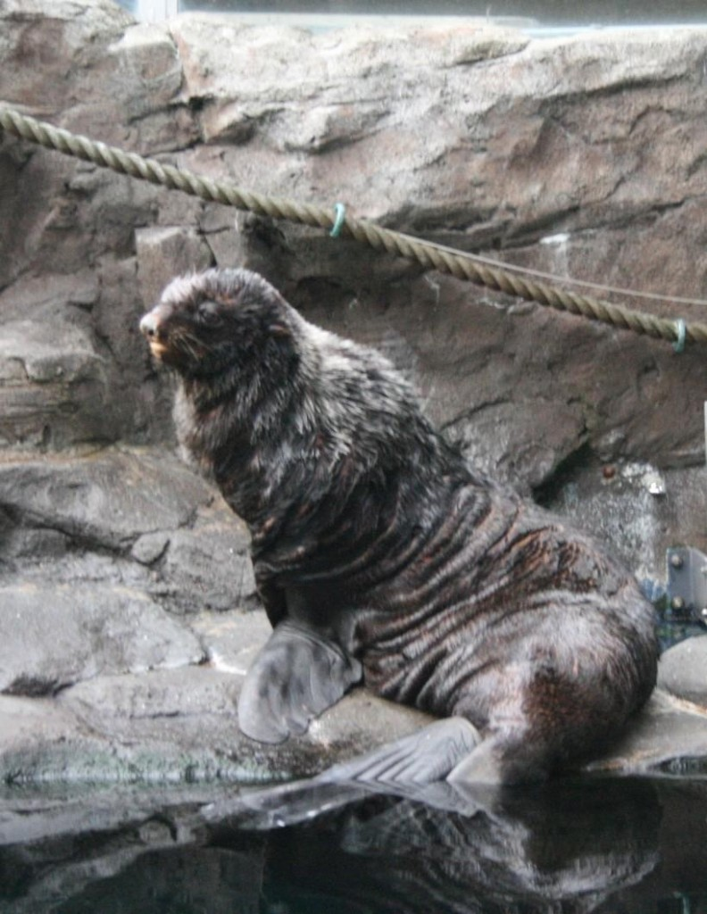 Al, a northern fur seal at the Seattle Aquarium