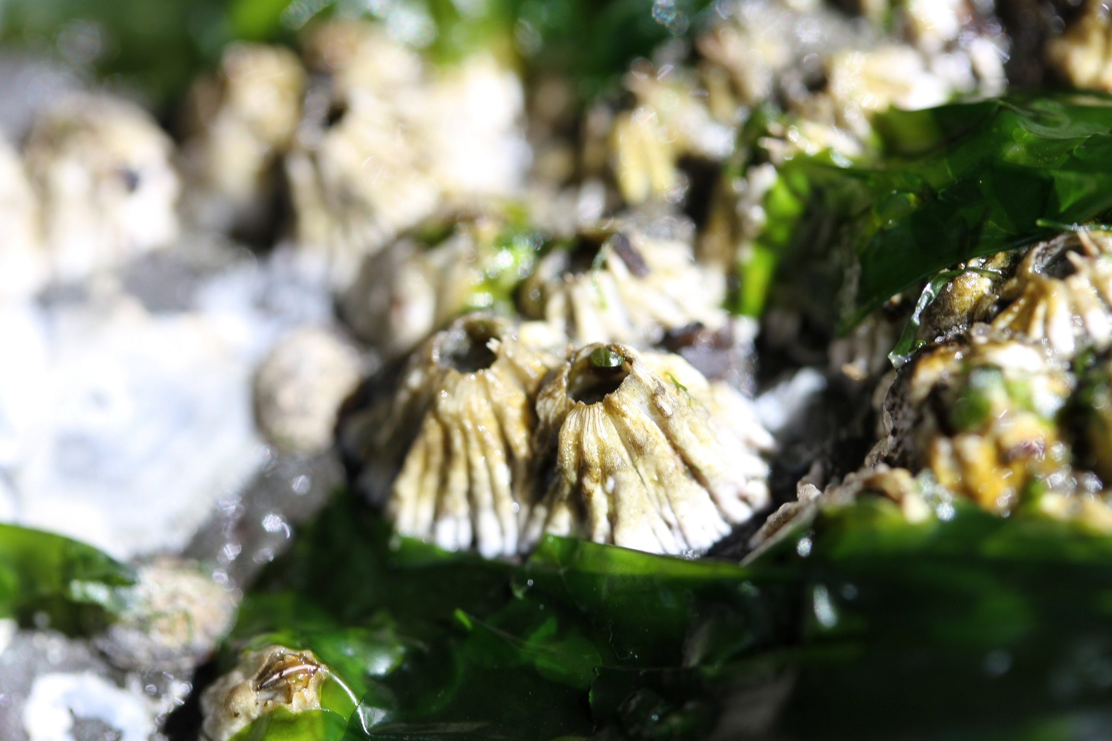 Barnacles on the beach surrounded by kelp