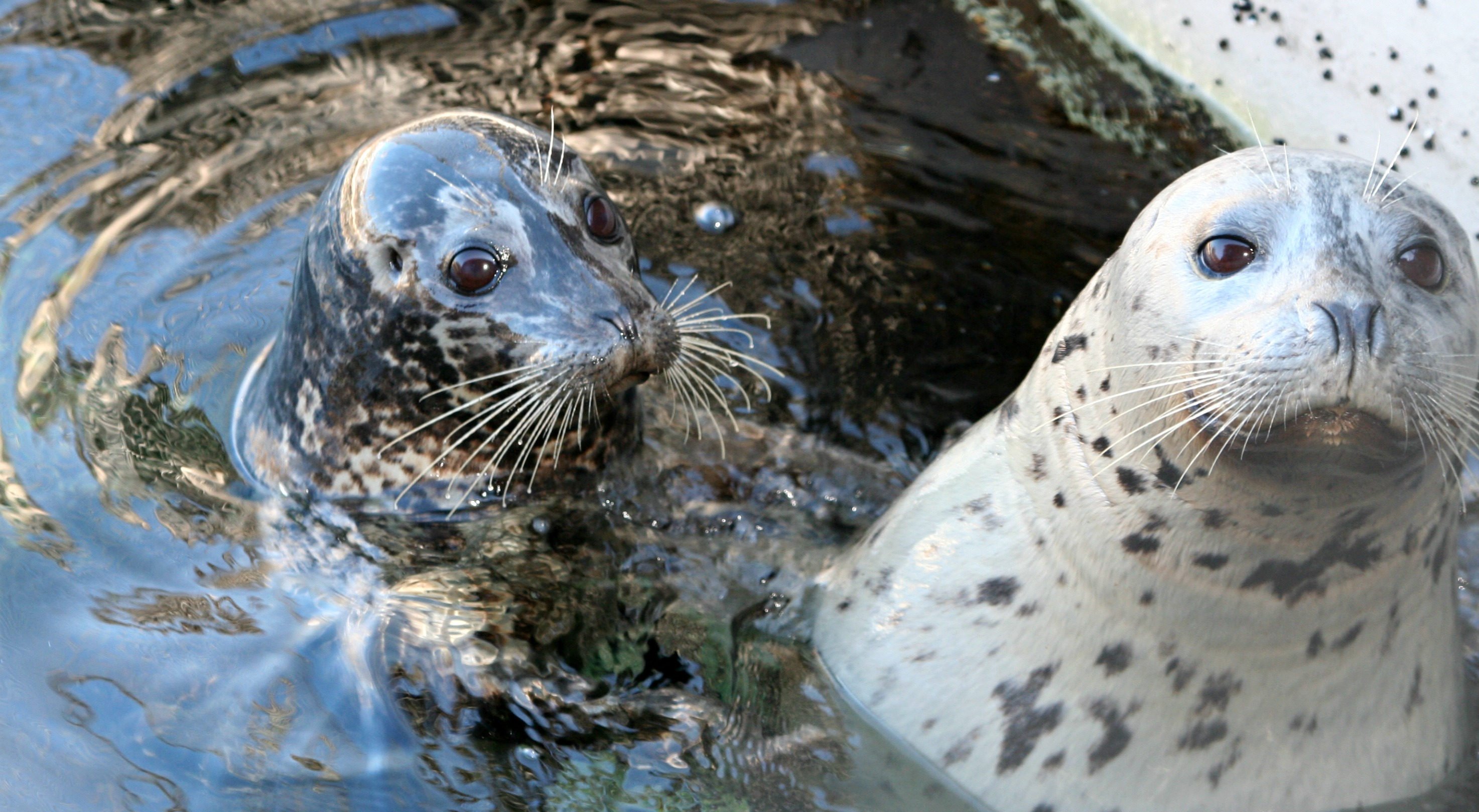 Construction alert: last chance to see our harbor seals for a while!