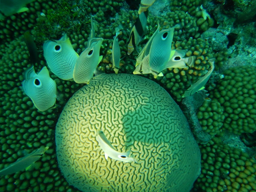 Brain coral and butterfly fish