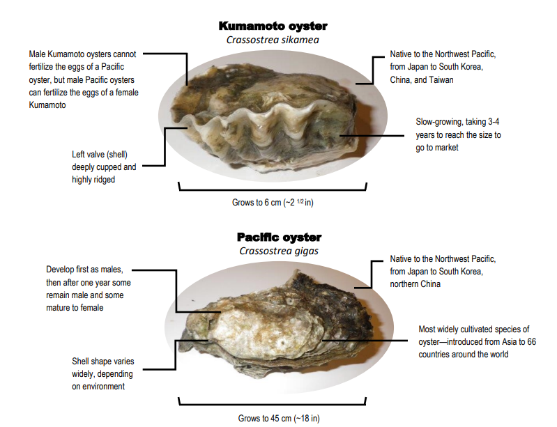 Local oysters, ocean acidification and spat