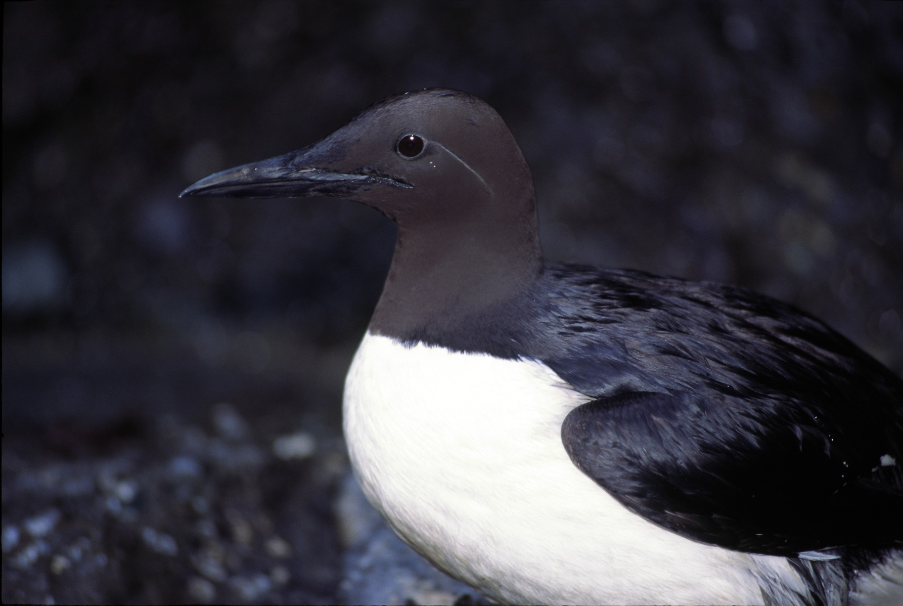 Seattle Aquarium Diving Birds Get A Thumbs Up From The