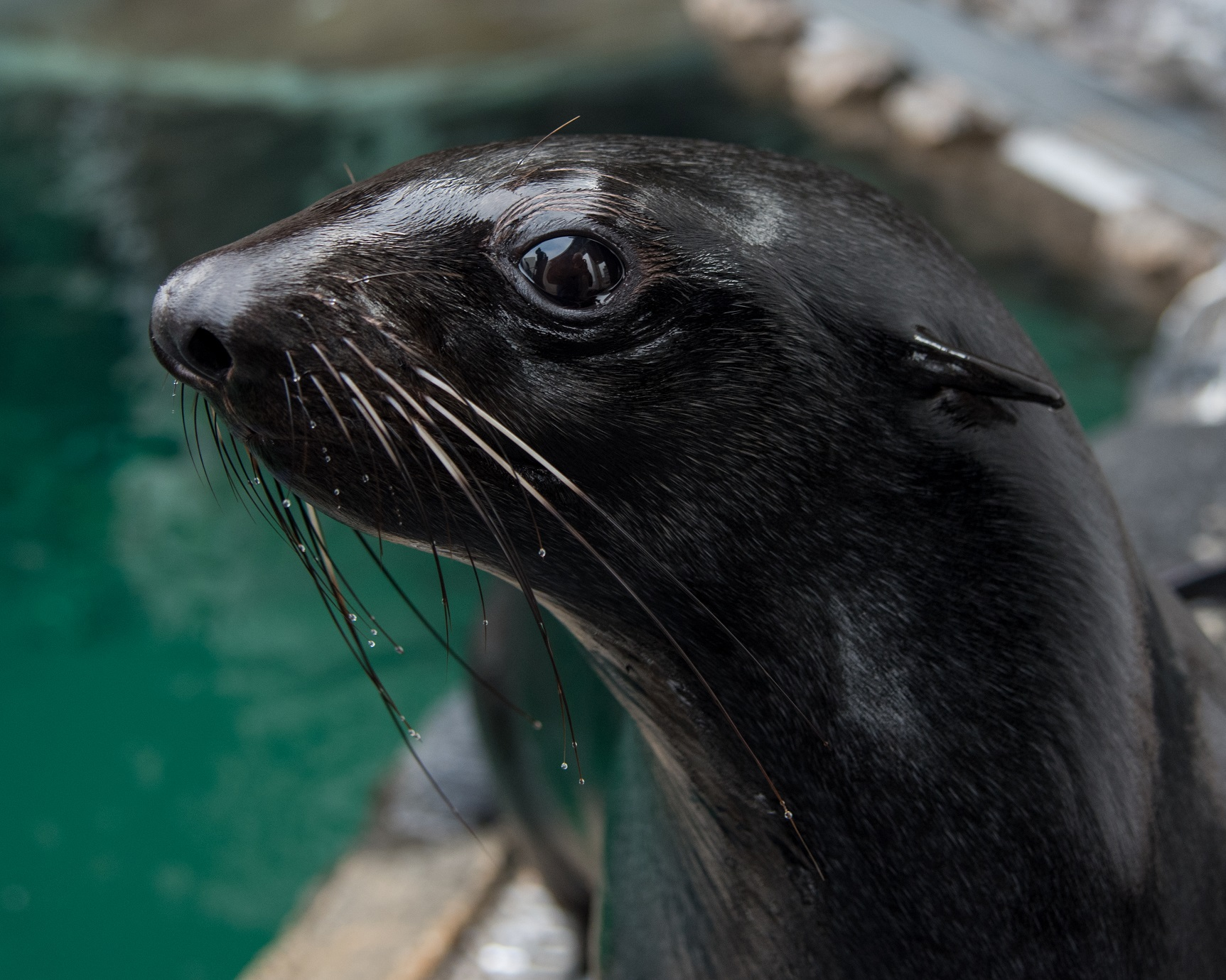 Close-up on fur seal face