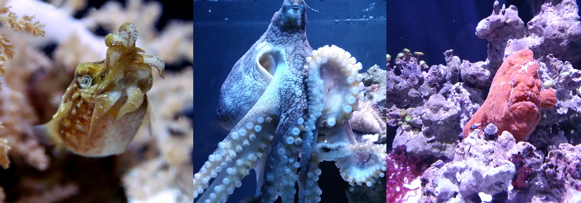 Dwarf cuttlefish, day octopus and frogfish