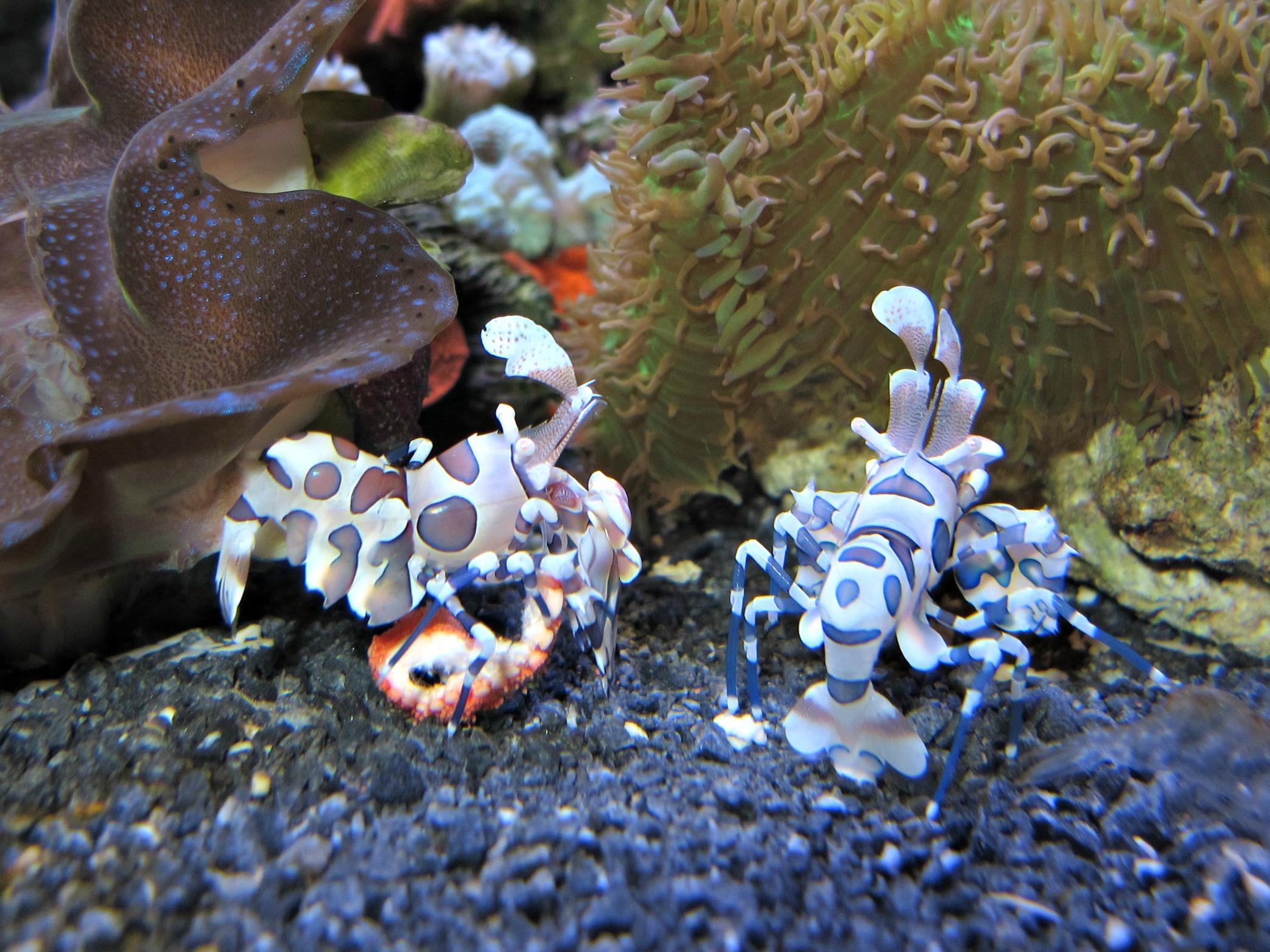 Harlequin shrimp: tiny, tough reef predators | Seattle Aquarium