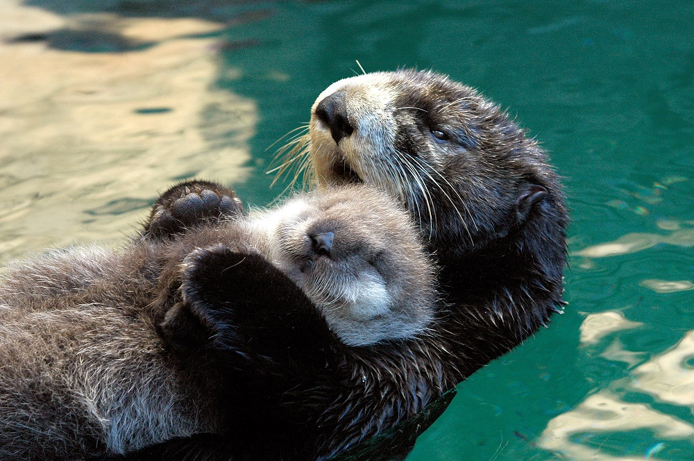 Sea otter with baby