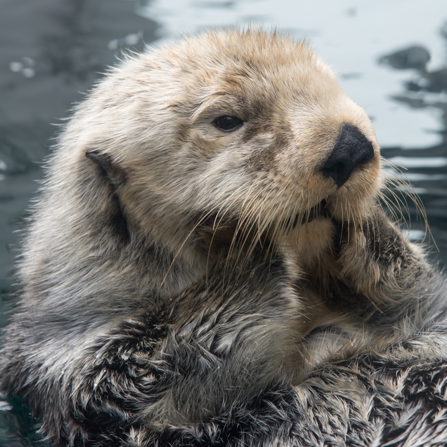 Lootas the sea otter