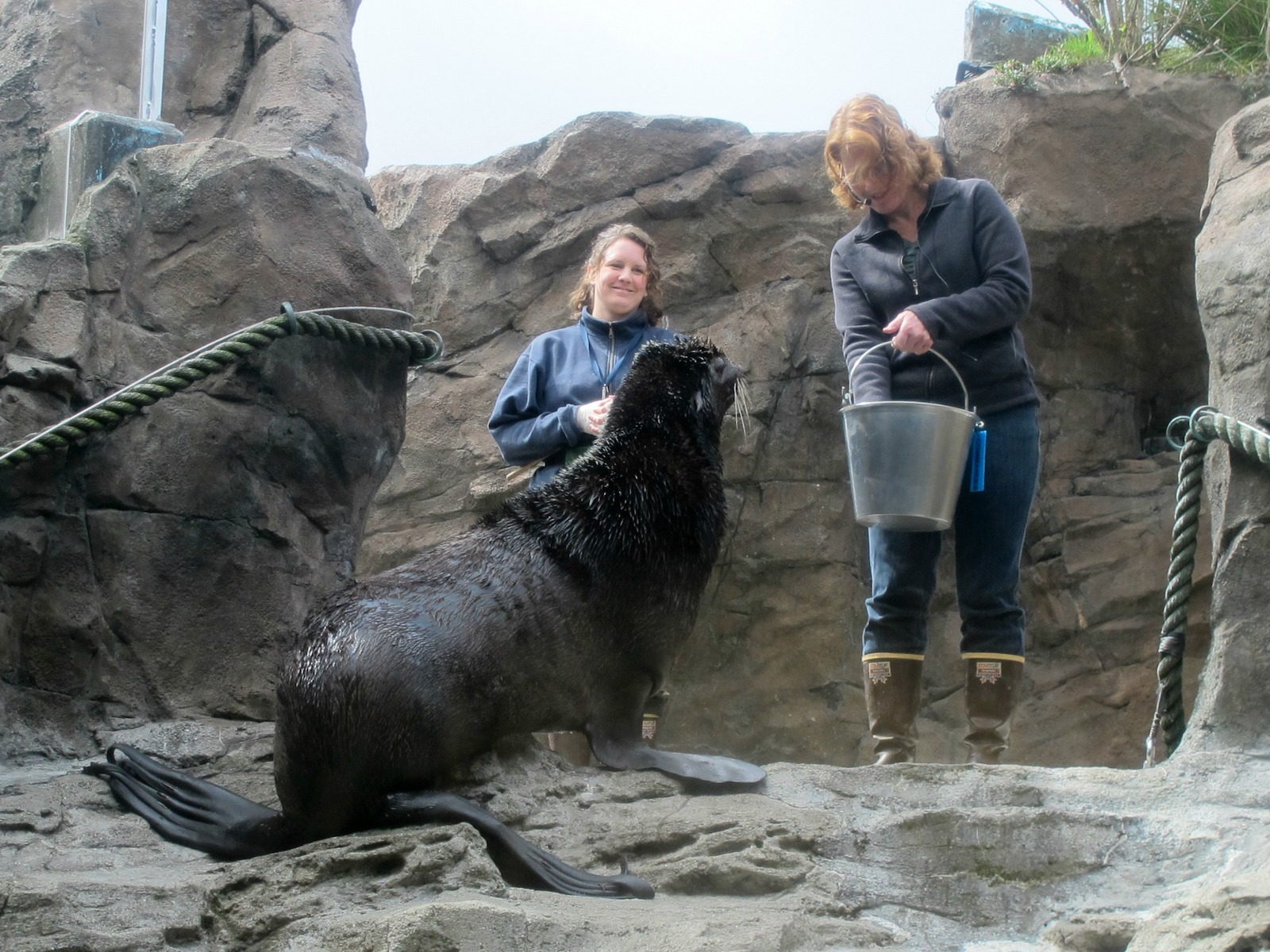 Marine Mammal Mania at the Seattle Aquarium: spotlight on northern fur seals