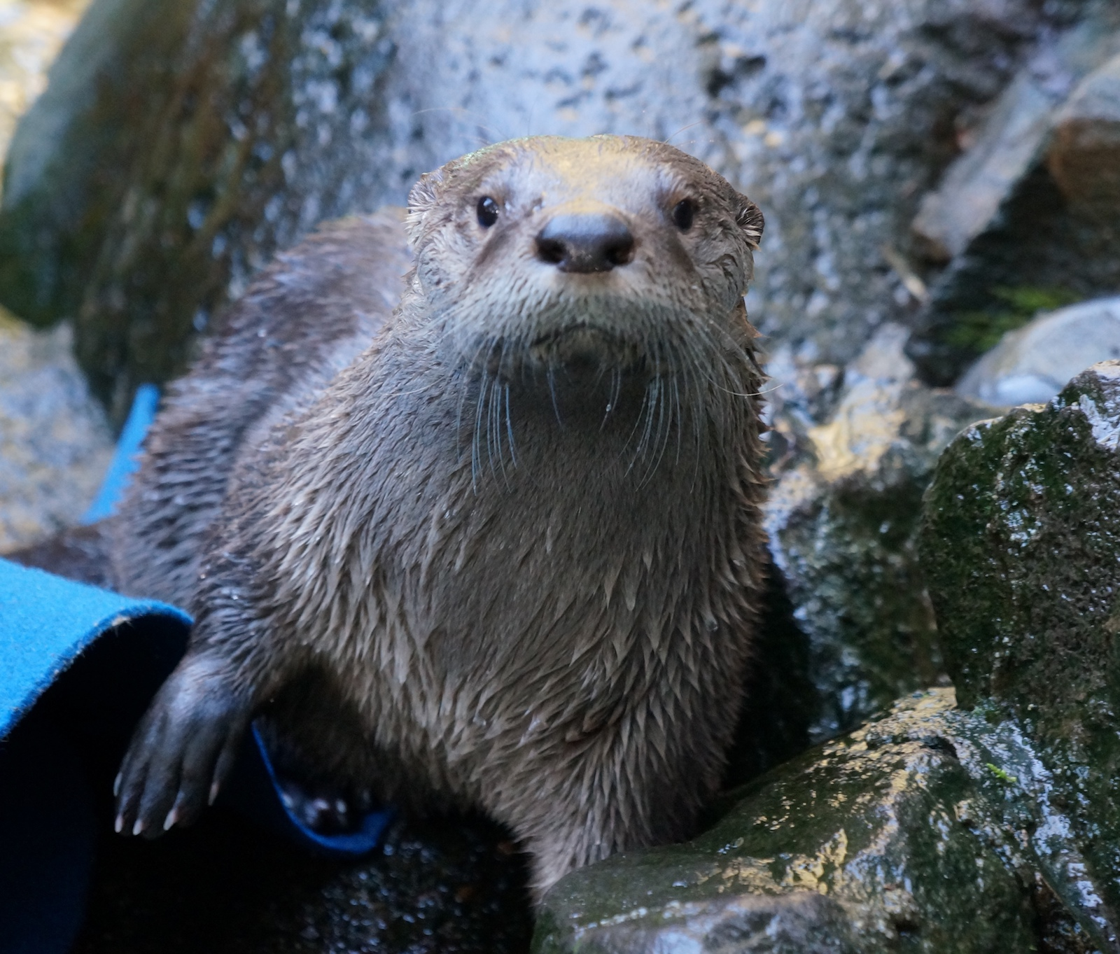 Meet river otter Molalla at the Seattle Aquarium!