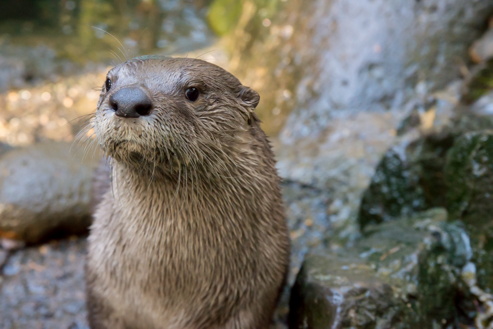Seattle Aquarium welcomes a new river otter!