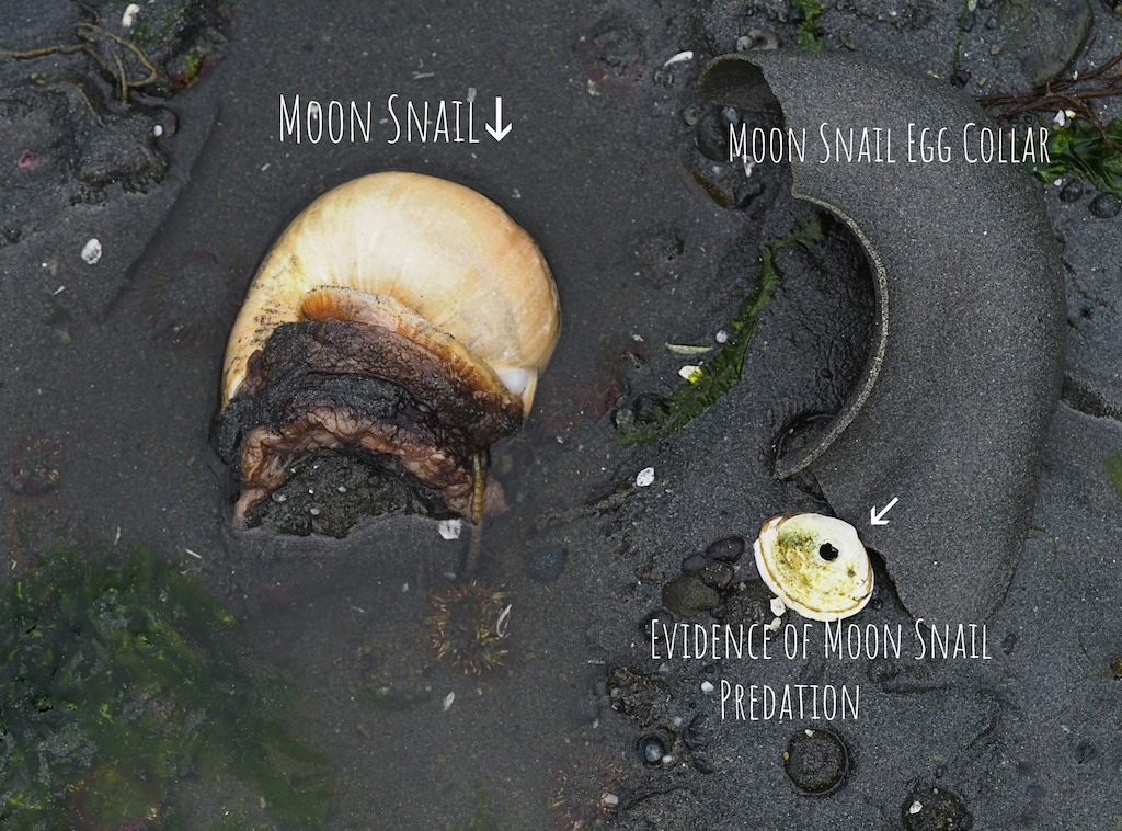 moon snail diagram
