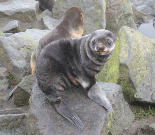 Northern Fur Seals and The Pribilofs!