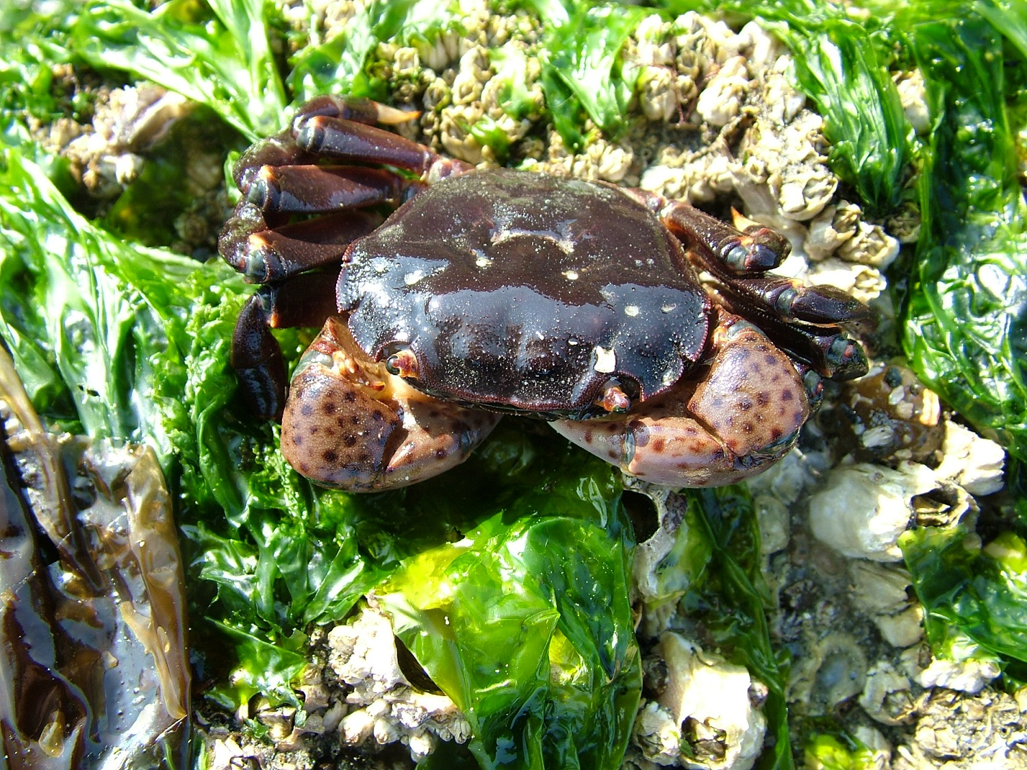 Purple shore crab in green kelp bed