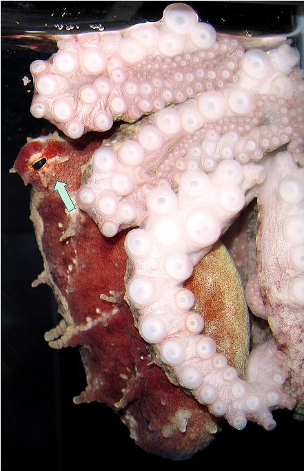 The arrow in the picture is pointing at the 3 eye flaps that help distinguish the Pacific red octopus from the giant Pacific octopus.