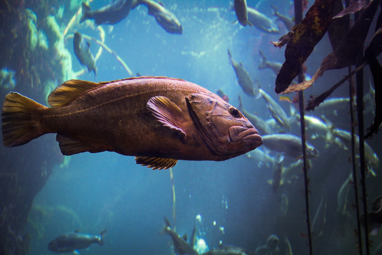 rockfish at Seattle Aquarium