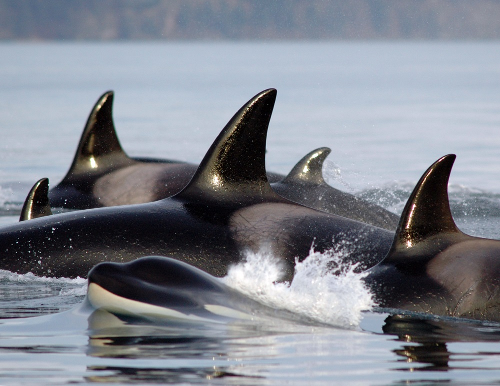 Dorsal fins of orca pod above the water