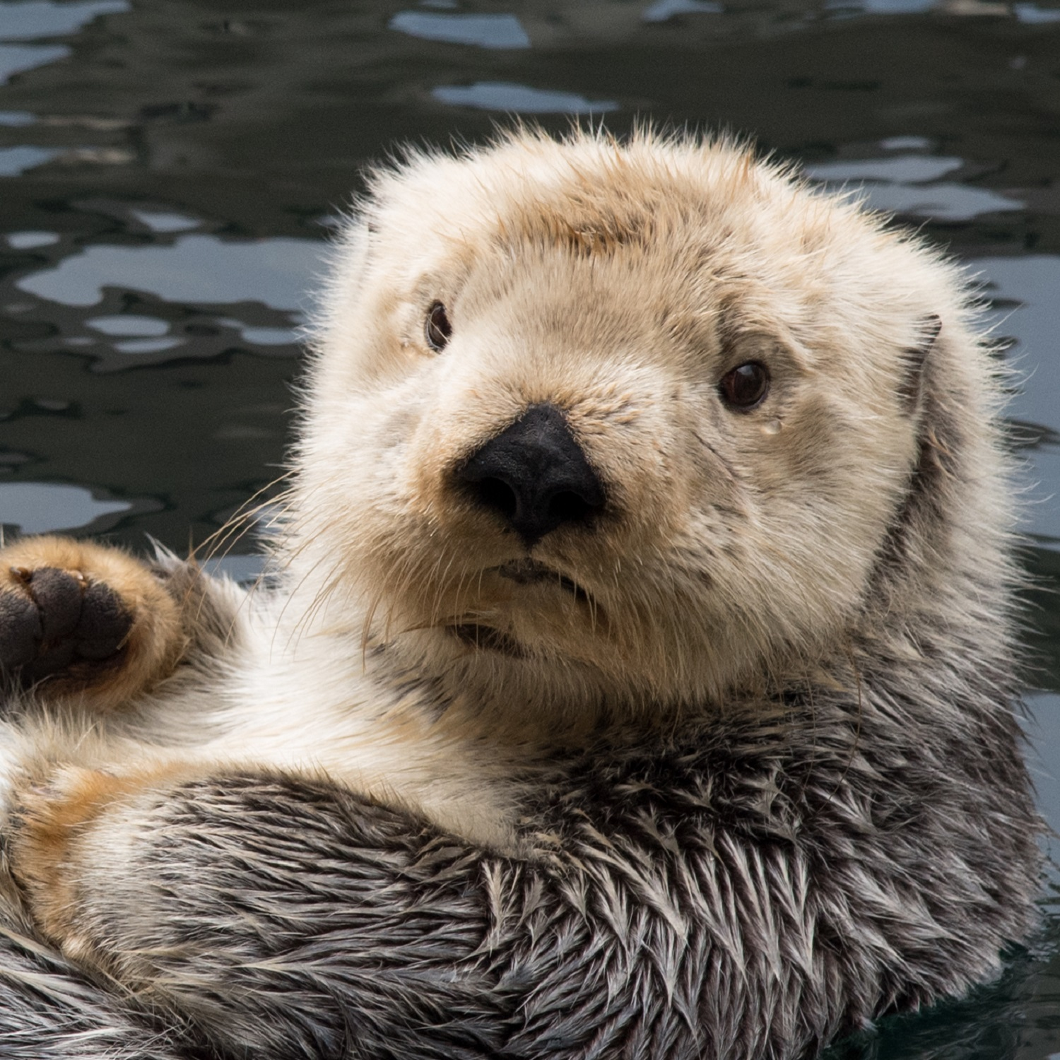 Aniak the sea otter