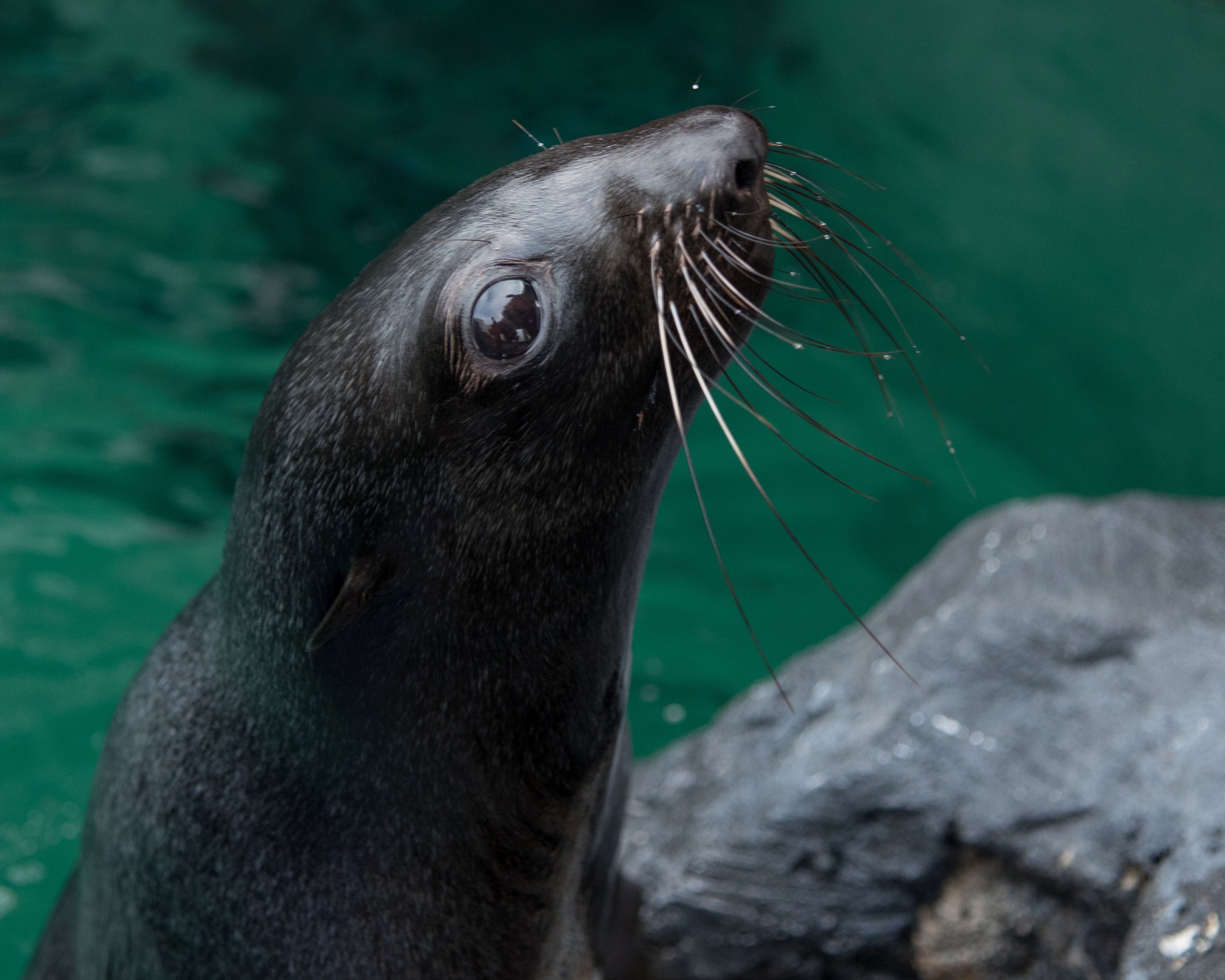 Learn all about northern fur seals with us this week!