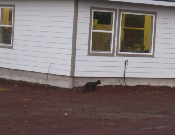 Maybe this is the little arctic fox that woke me up? I've seen and videotaped a mom and two kits outside my room as well.