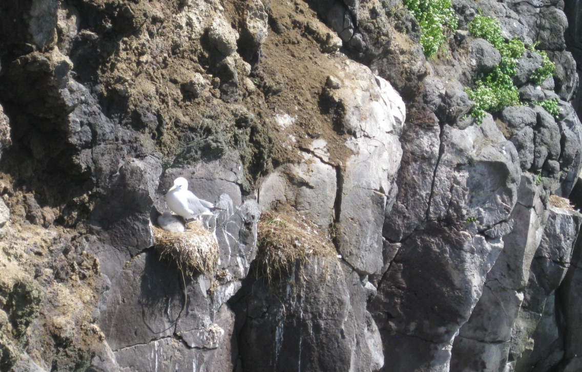 Several black-legged kittiwake nests including one with a parent and chick.