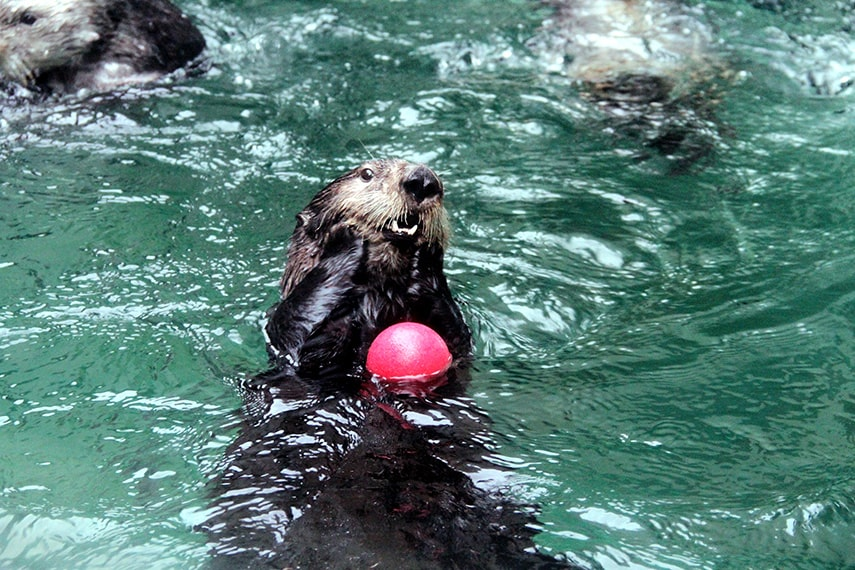 Sea otter playing with an enrichment toy.