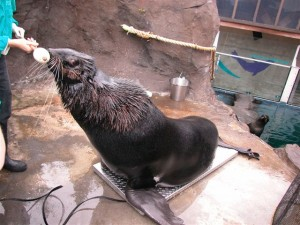 Fur-Seal-Weigh-In-001-300x225.jpg