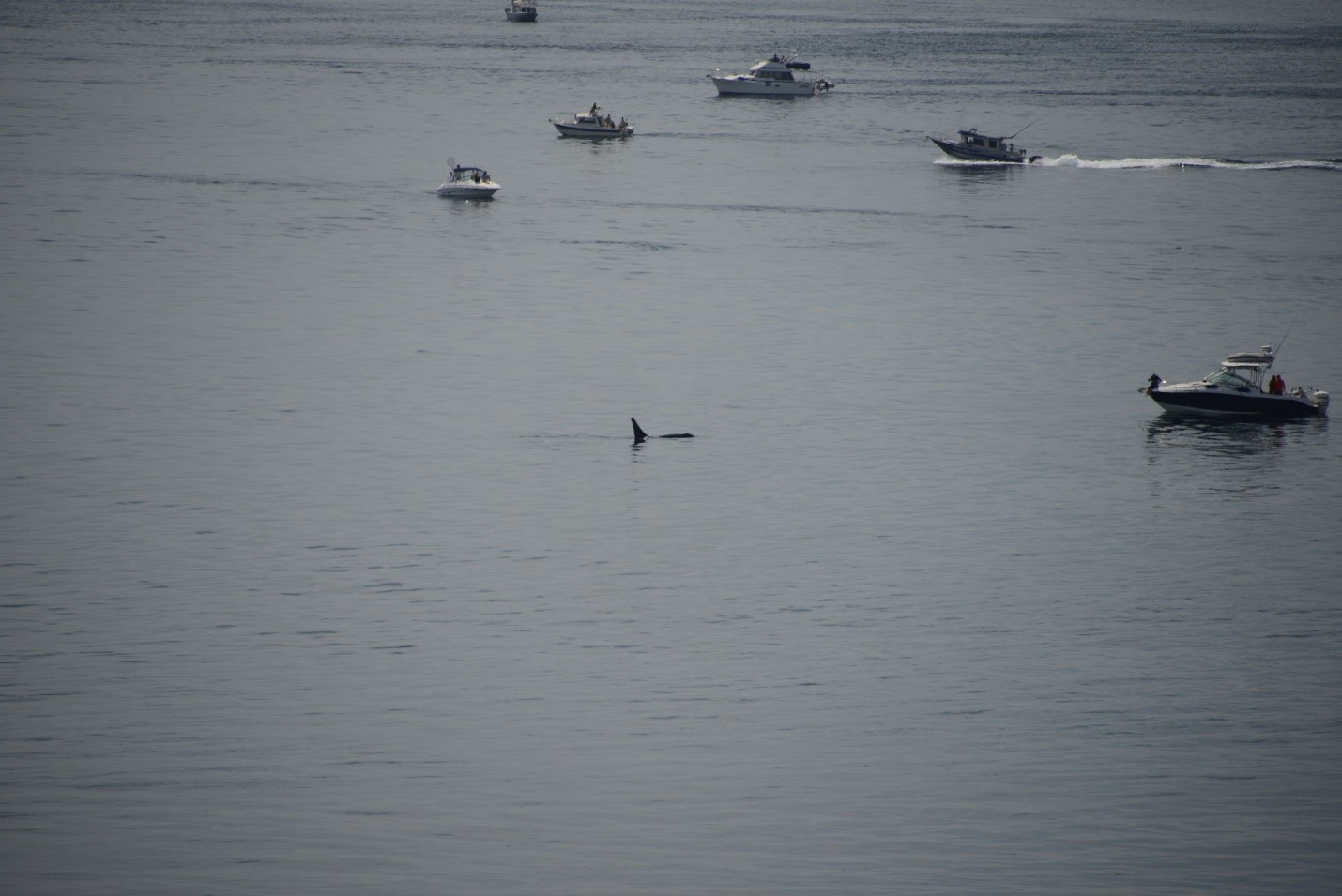 Boats surrounding an orca on the southern end of San Juan Island.