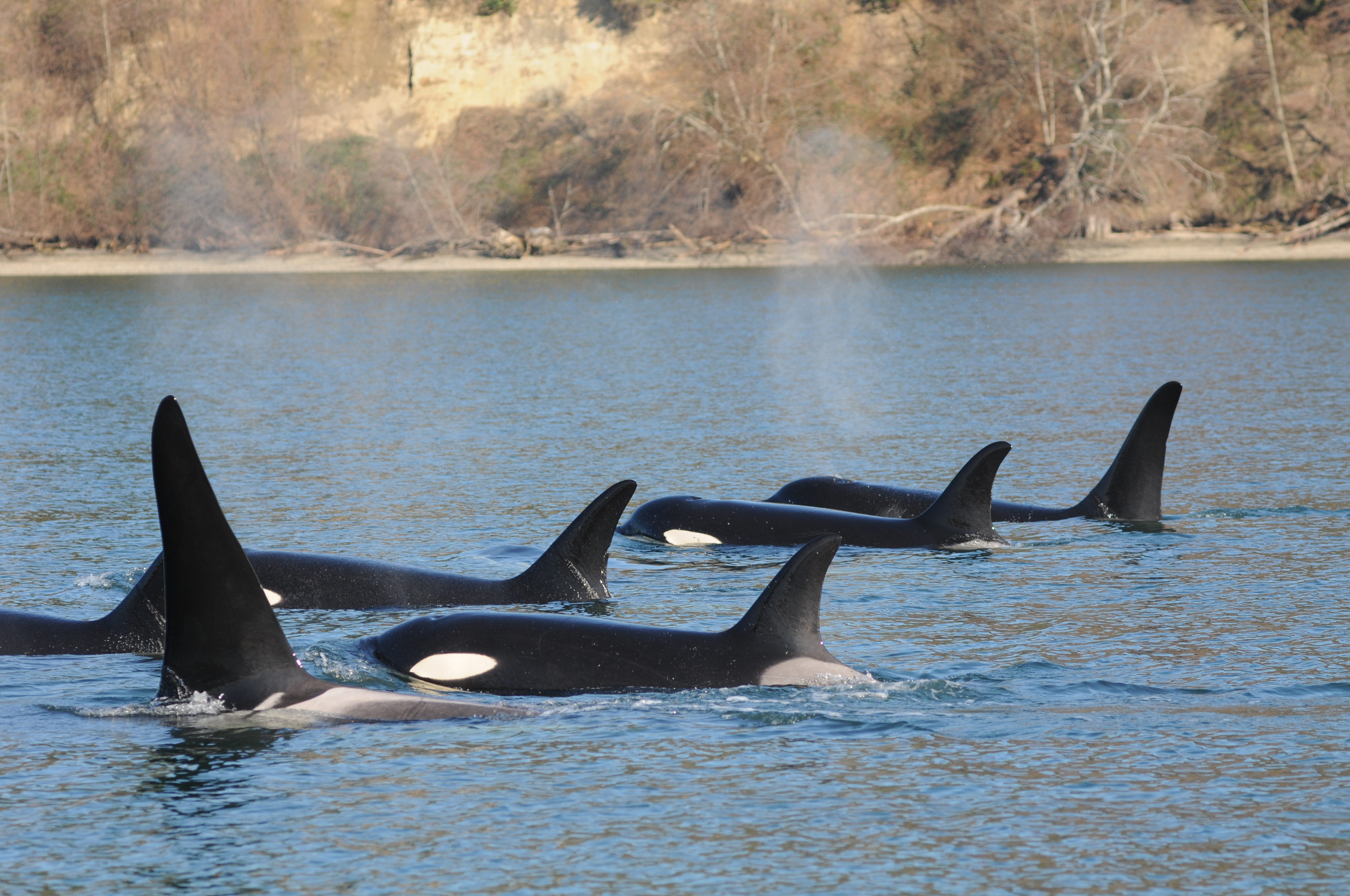 Orcas surfacing for a breath together