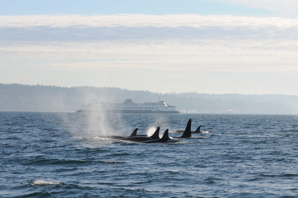 A pod of orcas travels on the same route as Puget Sound ferry commuters