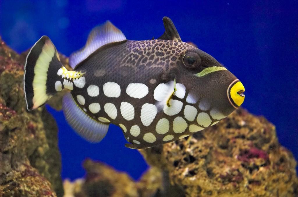 creature feature clown triggerfish seattle aquarium