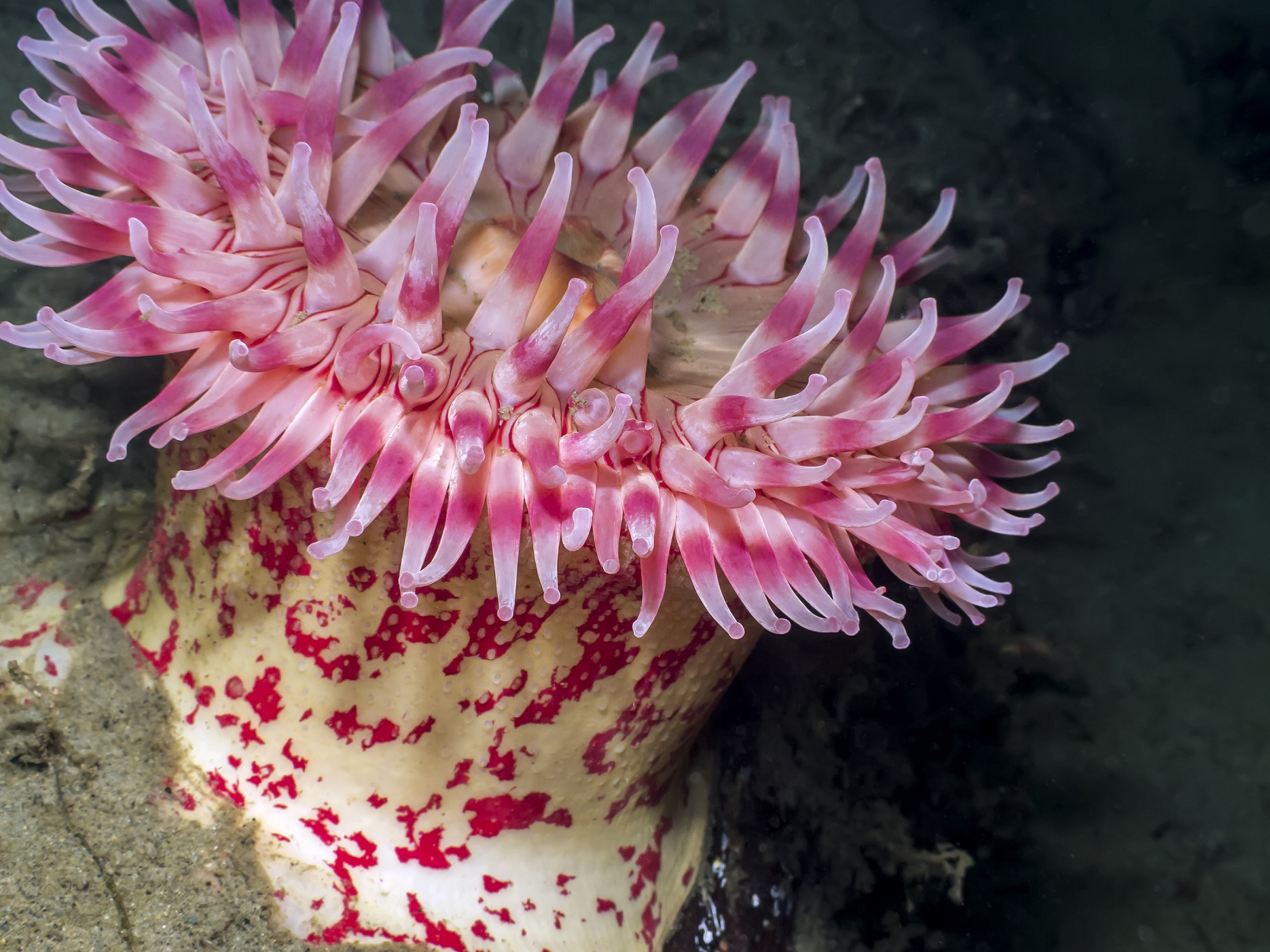 Striped pink sea anemone