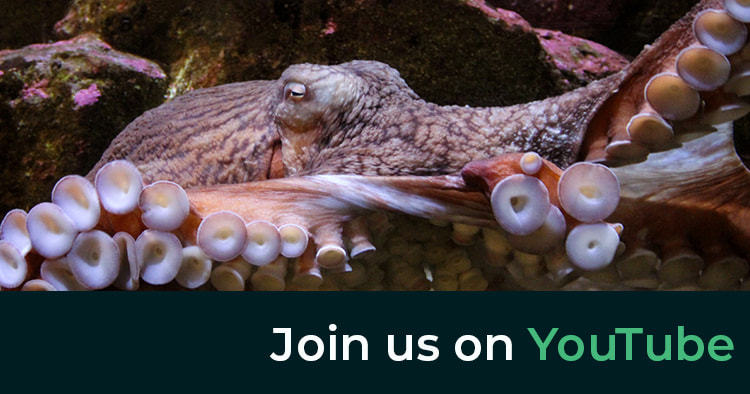 Giant pacific octopus. Join us on YouTube.