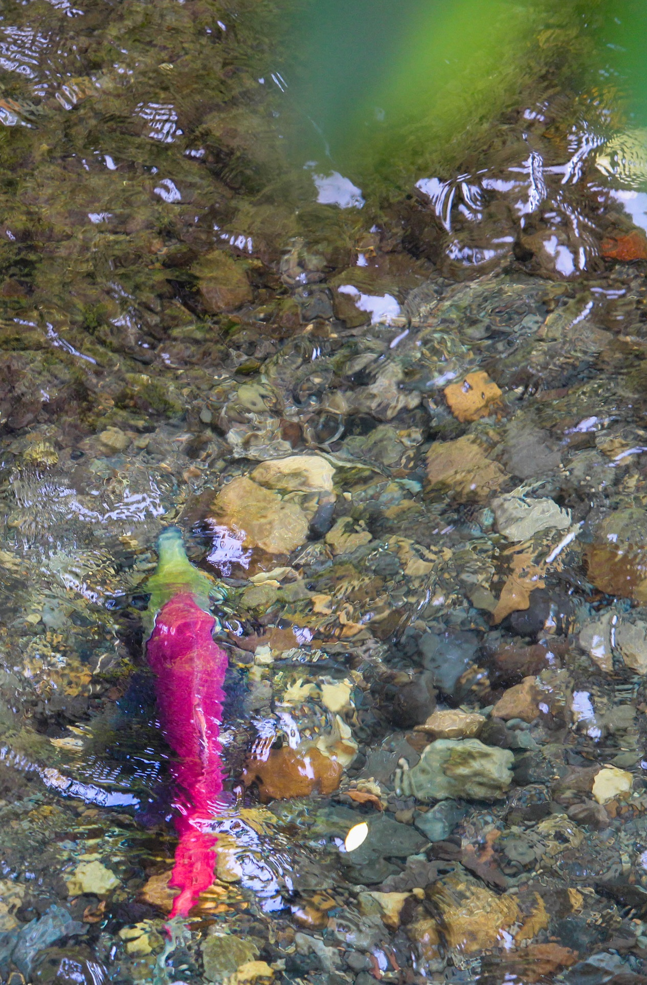 Salmon swimming in river