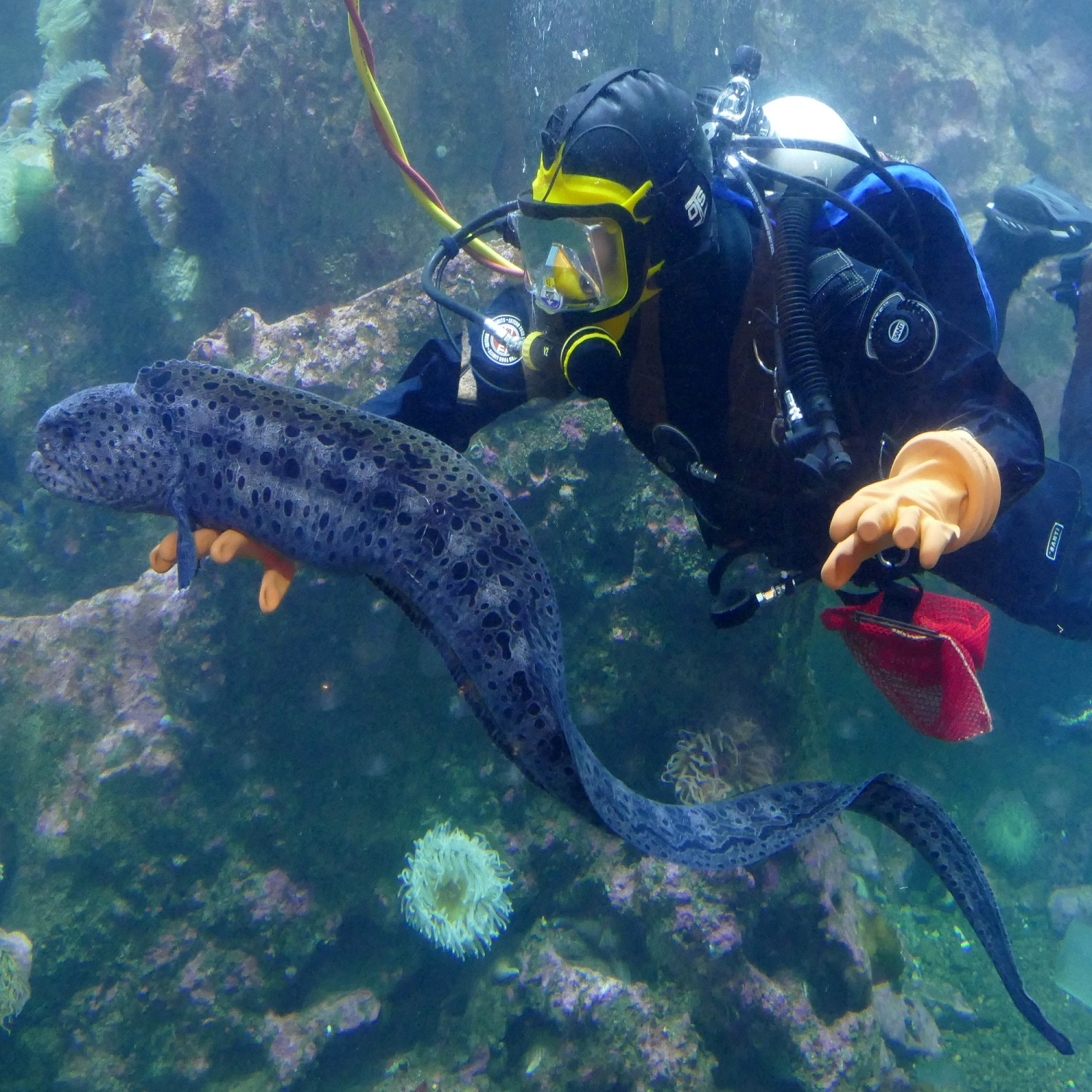 Diver with wolf eel