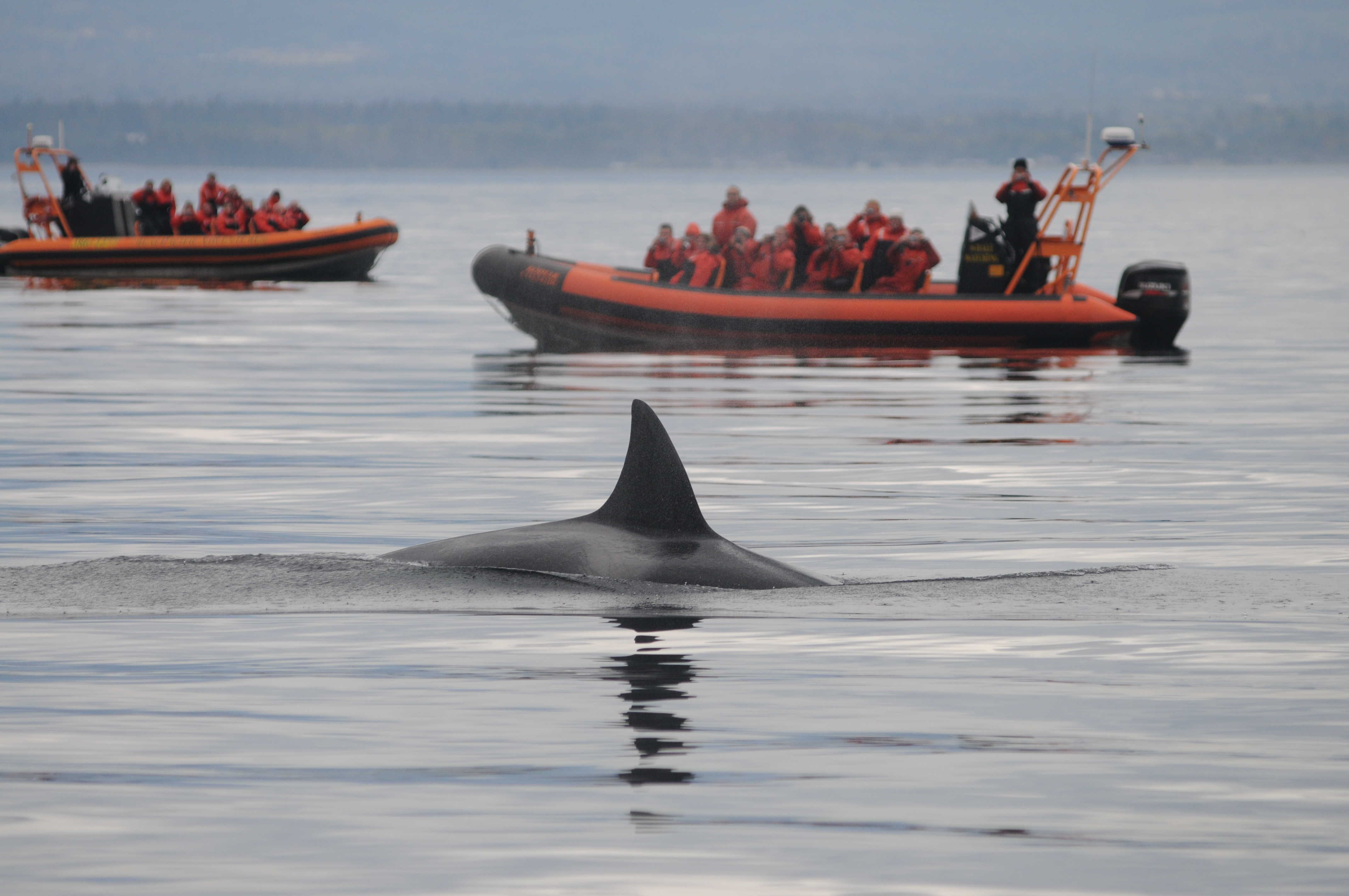 Whale watchers come from all over the world to see our local orcas