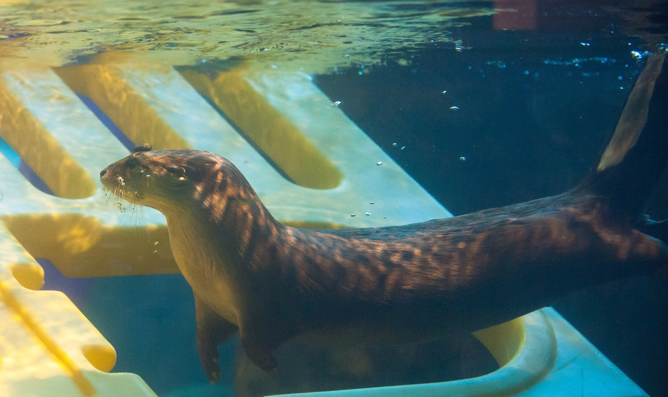 River otter with enrichment object underwater