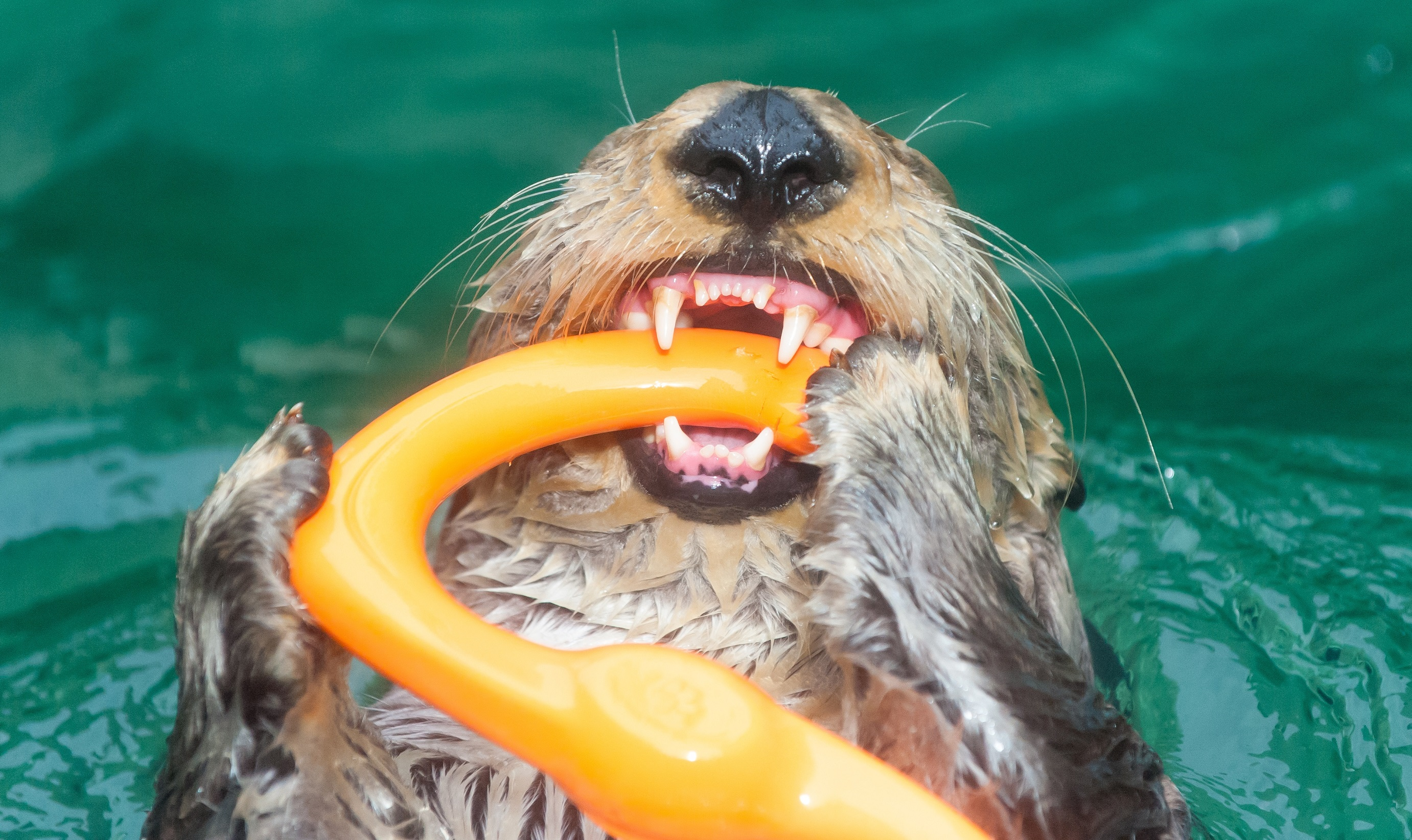 Sea otter with toy