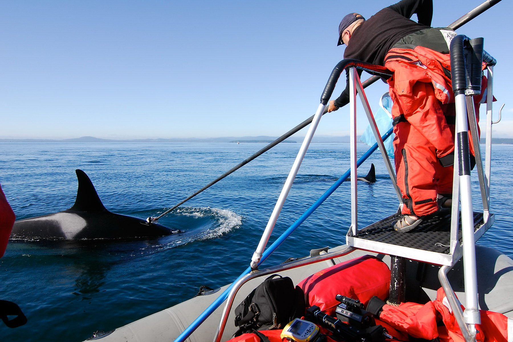 A NOAA researcher carefully places a suction-cup DTAG on an orca