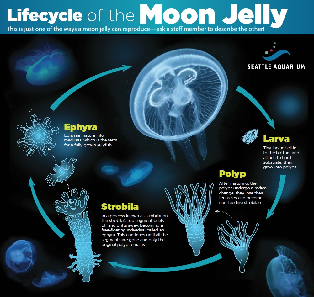 stung by a moon celebration of the aurelia aurita genome