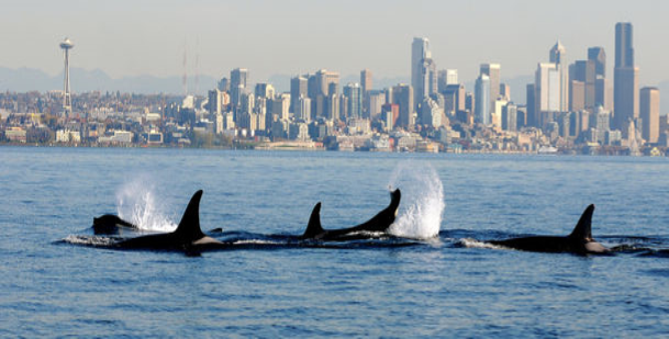 Governor signs executive order to help protect southern resident orcas