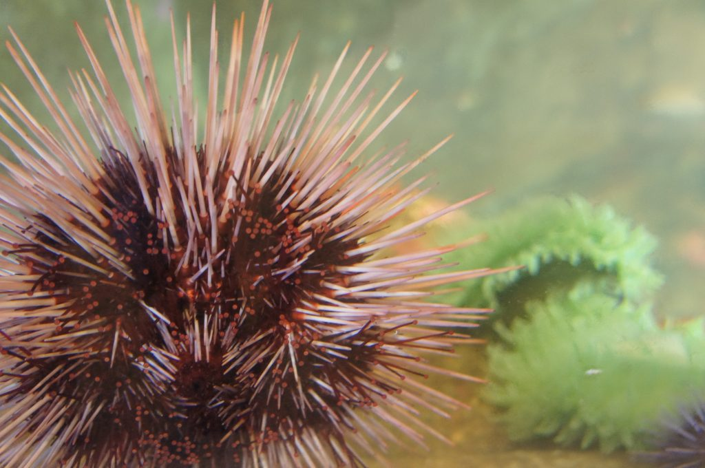 All about urchins