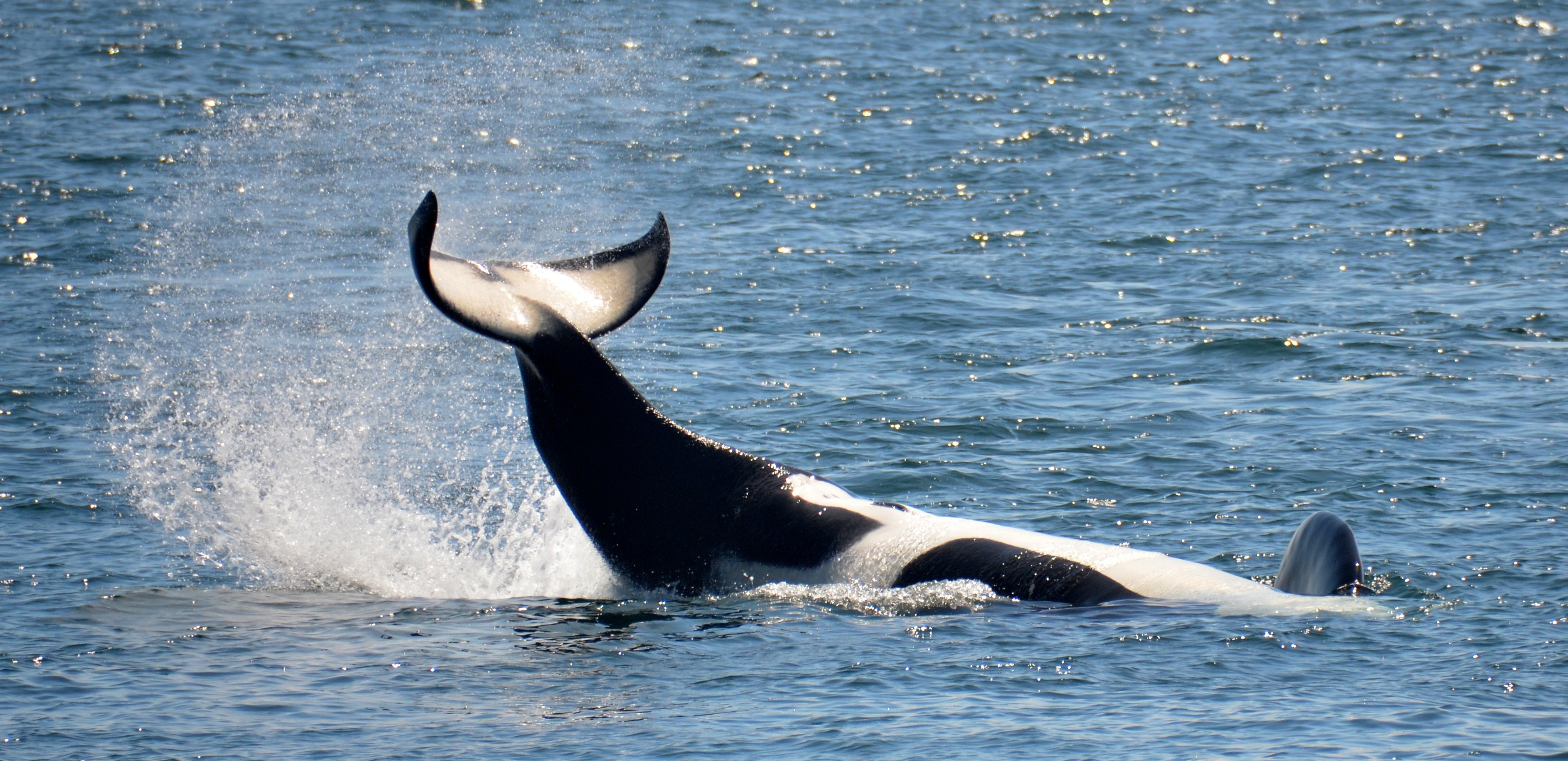 Orca slapping tail against water's surface
