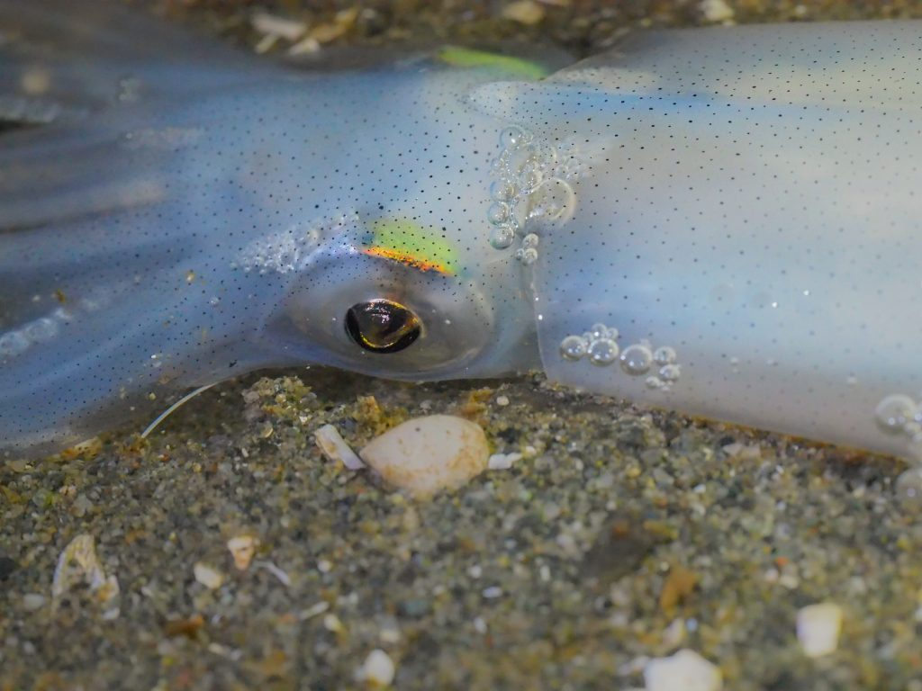 Opalescent squid