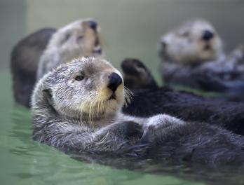 Sea otters at Seattle Aquarium