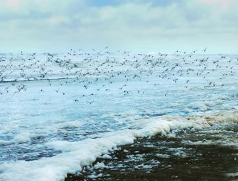 Large flock of shore birds flying over a beach.