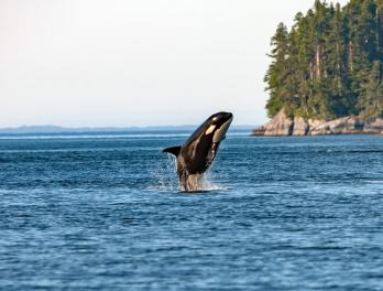 Orca whale breaching above the ocean's surface.